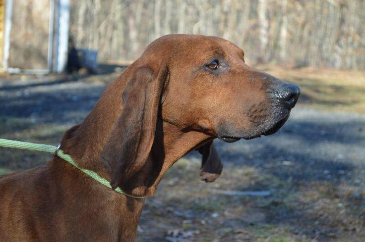 Redbone Coonhound M 4 Years 47820 In Lyndhurst Va Shenandoah Valley Animal Services