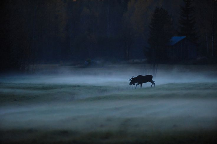 It's most likely to see elks either early in the morning or just before the sunset. There are a lot of elks in Finnish forests.