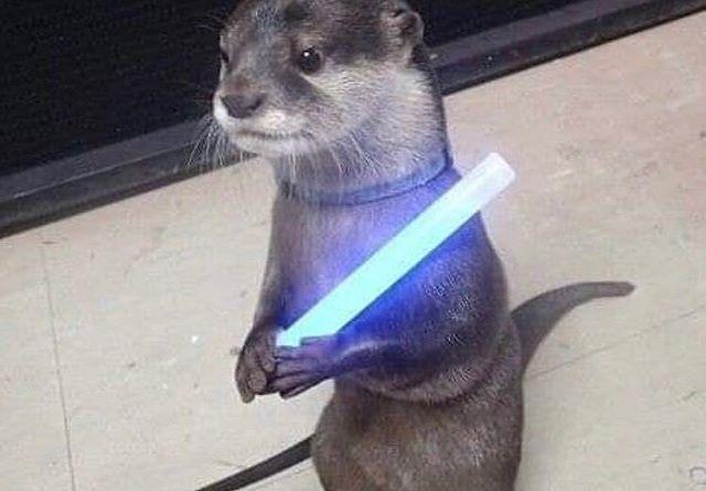 Jedi Predicament Source Unknown Dm For Credits Animalsinpredicaments Otters Jedi Fallenorder Lightsaber Animalsofig カワウソ 可愛すぎる動物 子犬
