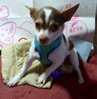 Nibz 2 year old 6lb male.  neutered chihuahua - Needs a forever home. please adopt this sweet boy