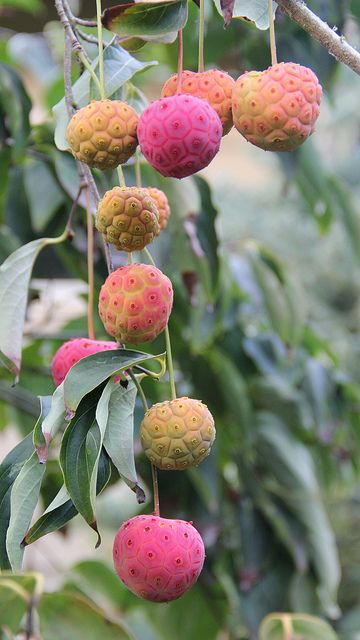 Cornus kousa edible fruit - My private garden collection.| Flickr - Photo Sharing!