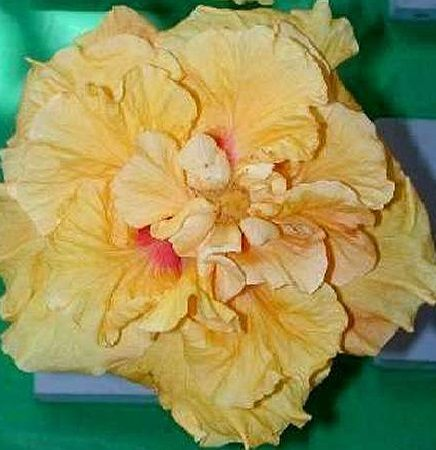 Hibiscus Cheer Leader - Bouganvillia Dell Nursery and Landscaping Supplies