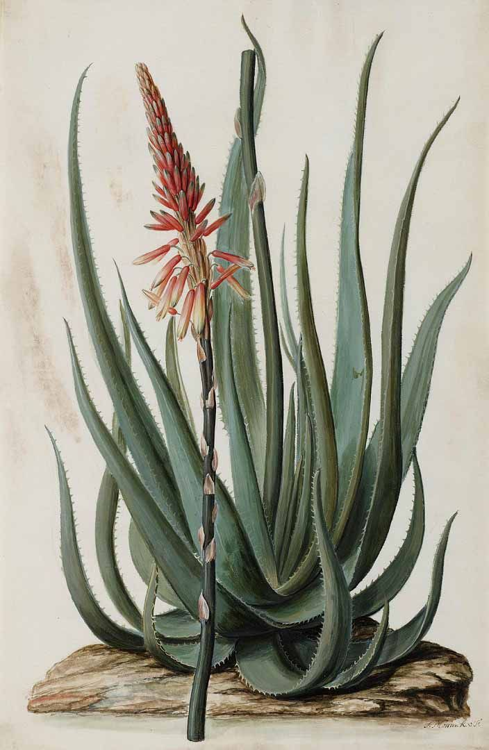 133588 Aloe succotrina Lam. / Moninckx, J., Moninckx atlas, vol. 1: t. 37 (1682-1709)