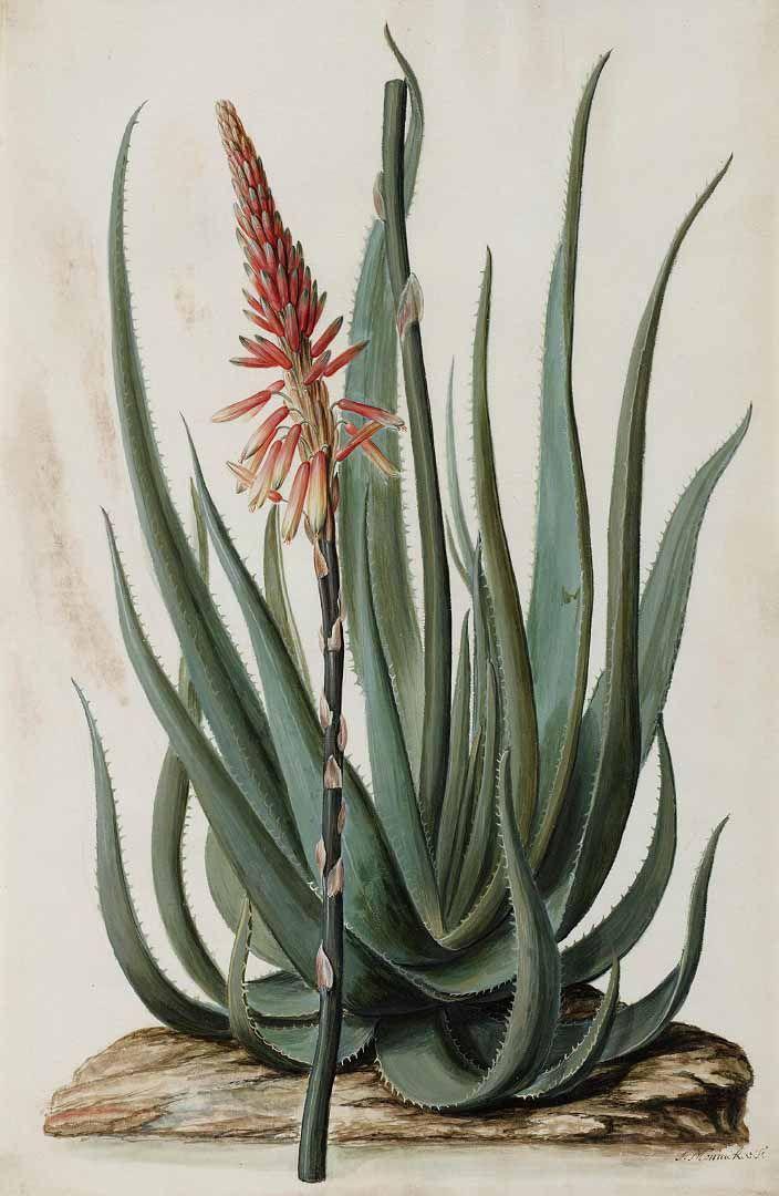 133588 Aloe succotrina Lam. / Moninckx, J., Moninckx atlas, vol. 1: t. 37 (1682-1709)