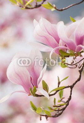 Magnolia květina na jaře