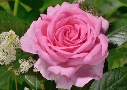 (klim)roos 'Ghita Renaissance' -  syn. ' Millie', 'Mum in a Million' - Poulsen (2004) - AGM 2012. TH. Rijke bloei.  Dubbele, komvormige, roze tot roze-lila bloemen (8-10cm). Zeer  geurig. Goed ziekteresistent. Als struik 150cm, als klimmer 250cm.