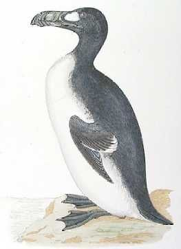 The great-auk - As the great auk died out in Newfoundland, its European population also declined. Its range was an arc across the North Atlantic from Canada to Greenland and Iceland, and across to Britain. Its bones have also been found in Florida (bones were 3250 years old), New England, Labrador and coastal areas of Norway, Denmark, the Netherlands, Brittany, the Bristol Channel and even Gibraltar. Read more at http://messybeast.com/extinct/great-auk.htm