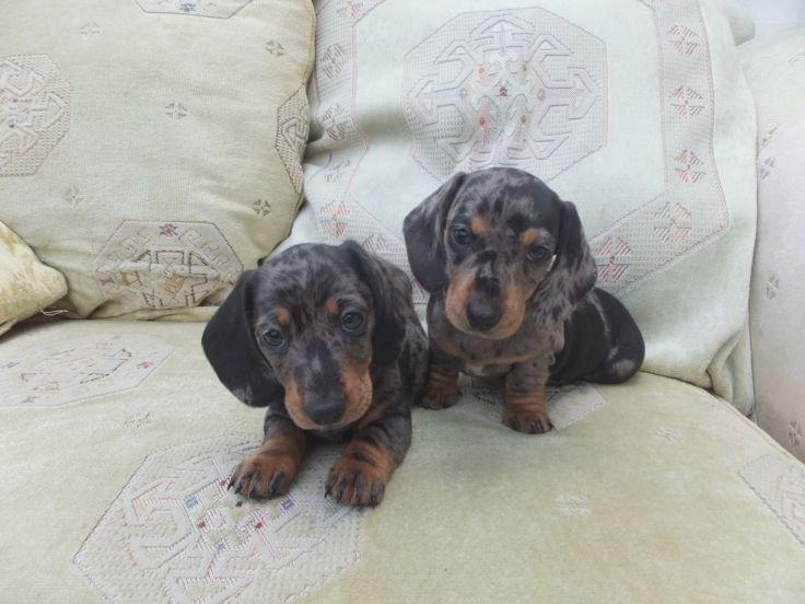 Miniature Smooth Silver Dapple Dachshund Puppies Aberaeron