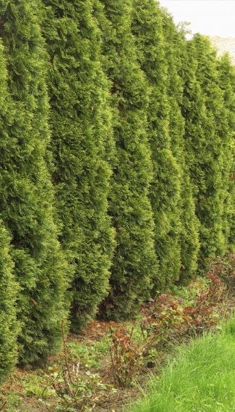 Fast Growing Evergreen Shrubs:  Best Evergreen Shrubs For Privacy - Because a privacy hedge is always something you want yesterday, evergreen shrubs that grow fast are the ticket. This article provides some suggestions to speed you on your way. Click here for more information.