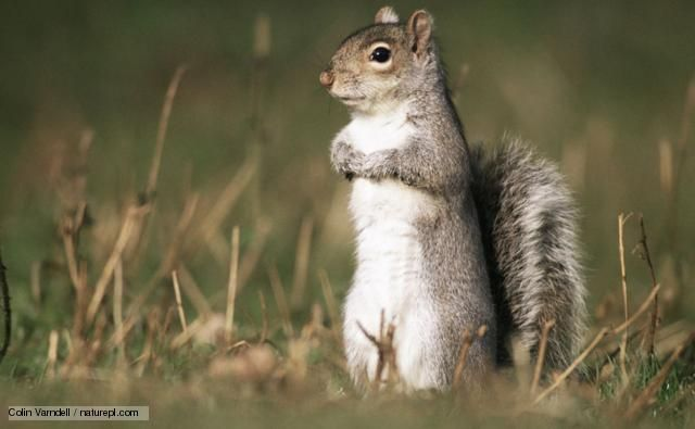 BBC Nature - Bushy-tailed squirrels videos, news and facts