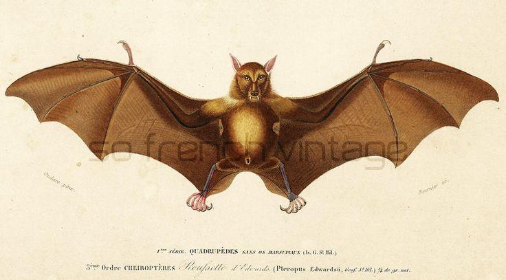 1861 Chauve-souris gravure ancienne Orbigny Original Qualité Exceptionnelle Histoire Naturelle Lithographie peinte à la main roussette de la boutique sofrenchvintage sur Etsy
