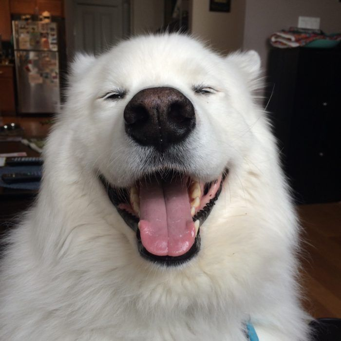 Perro Blanco Sonriendo Samoyed Silly Dogs Samoyed Dogs