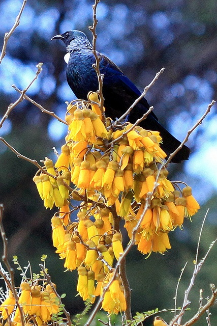 Master of the blooms.  New Zealand Tui & Kowhai