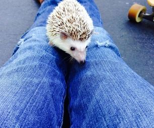 How to litter train your hedgehog [Tina's note: not til the babies are old enough to not squeeze one,,, but Devin had a pet English Hedgehog once and it was the best, sweetest little thing. I still want another one! :-)
