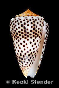 cone snails - one of the leading fields of research for ocean product derived therapeutics, not to mention beautiful creatures. I studied these guys for almost a year.*