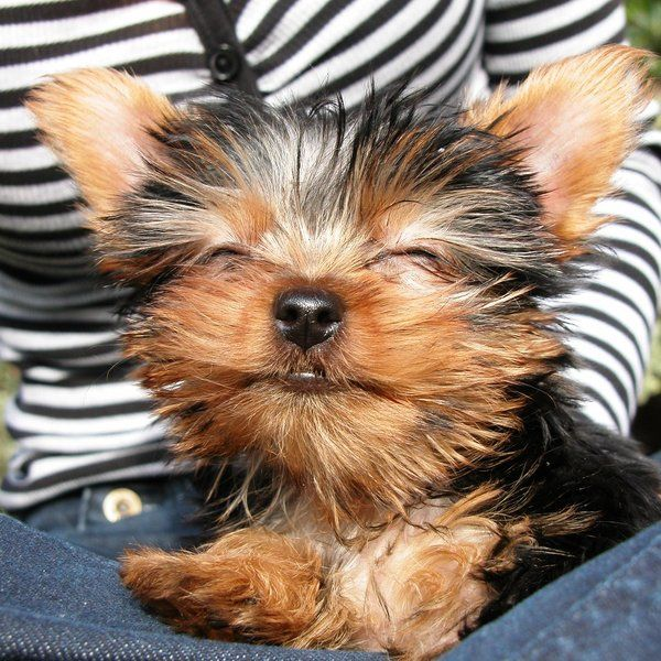 Happy Dog Pet Puppy Smile Cute Yorkies Puppies Yorkie Dogs