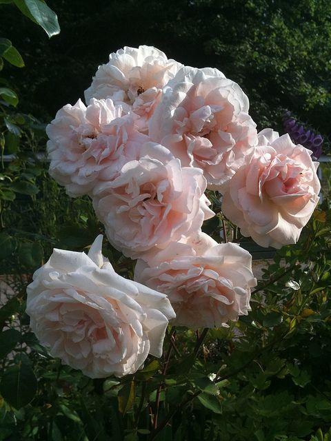 131 best images about shrub roses polyanthas grandifloras. Black Bedroom Furniture Sets. Home Design Ideas