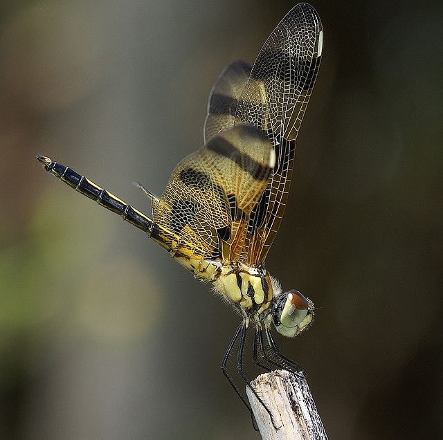 Best 25+ Dragonfly life cycle ideas on Pinterest | Life ...