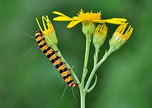 Cinnabar moth - Wikipedia, the free encyclopedia, caterpillar stage