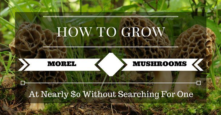A guide to how to grow morel mushrooms in your home garden free and without going on tedious hunts for one of the best gourmet delicacies on the planet.