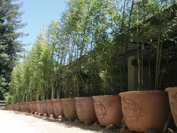 Potted Bamboo Privacy Hedge 27 Wide Pots 3 4 Ing