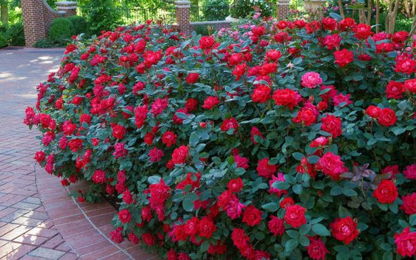 Easiest Roses To Grow Foolproof Rose Growing Guide Easy To Grow Flowers Growing Roses Knockout Roses Care