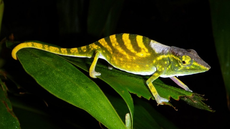 The Zoological Society of London and the International Union for Conservation of Nature (IUCN) have released a new list of the species closest to extinction. The Tarzan chameleon (Calumma tarzan) lives on Madagascar, inhabiting a range of about 10 sq km. Its forest home has been shrinking fast due to human activities such as logging.