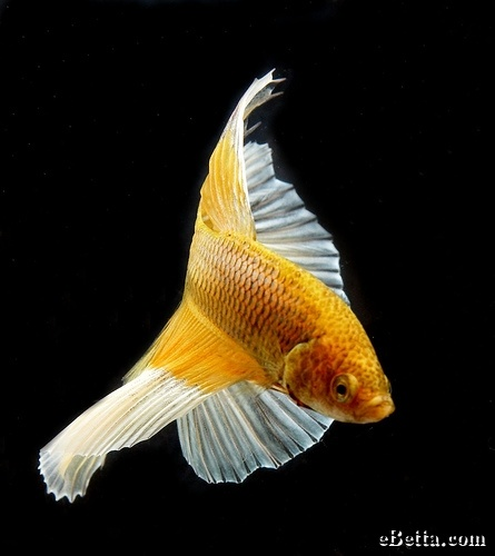 1000 images about beautifulbettababy on pinterest black for Koi fish for sale nj
