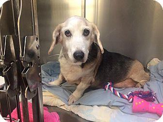 My name is Missy-Homeless at 14:(! ♦Oak Ridge, NJ - Second Chance Pet Adoption League, Beagle/Basset Hound Mix. Meet MISSY-Homeless at 14:(, a dog for adoption. http://www.adoptapet.com/pet/14318203-oak-ridge-new-jersey-beagle-mix