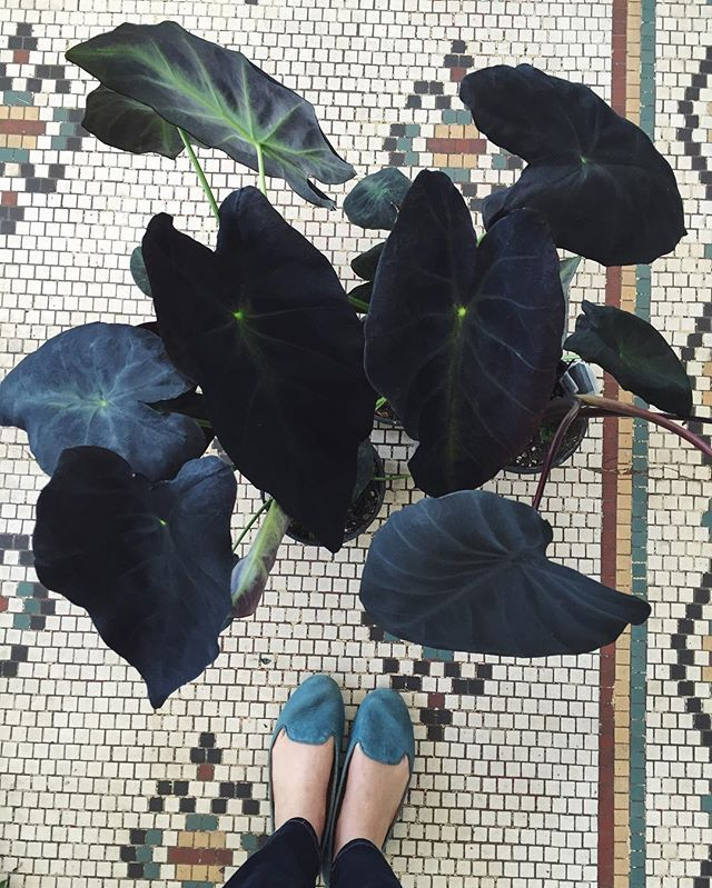 When your Colocasia is as black as your heart.