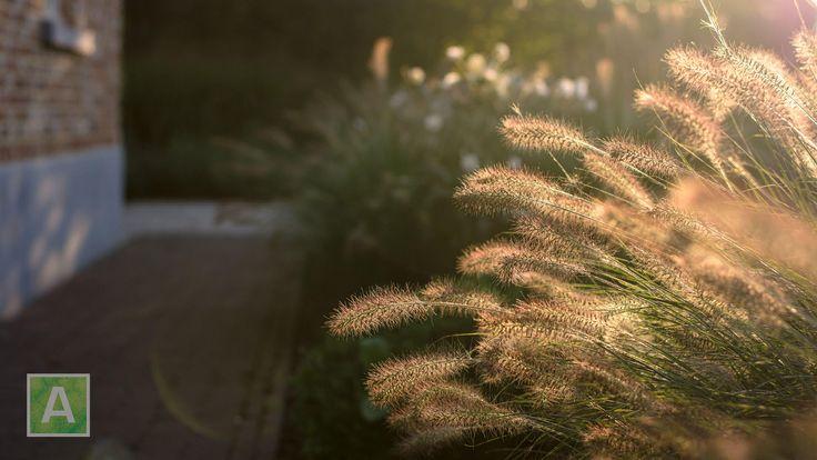 siergras, tuin, lampenpoetsersgras, Pennisetum, zonlicht