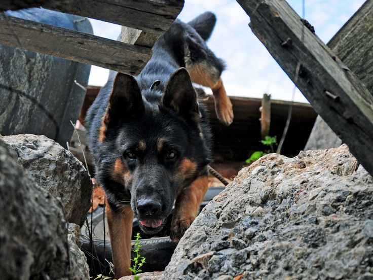 search and rescue dog | Learn to Train Search and Rescue Dogs with our SAR dog trainer school