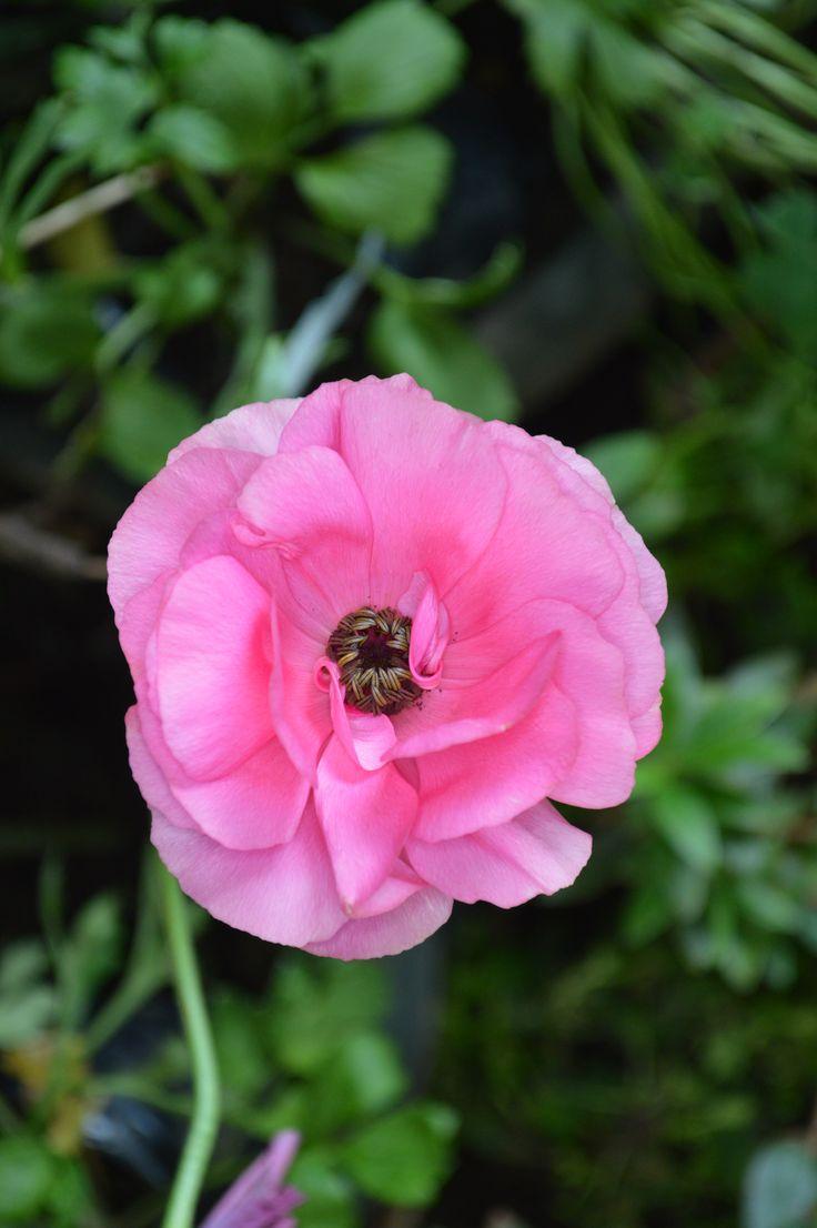 Flor rosada del jardín. SCL
