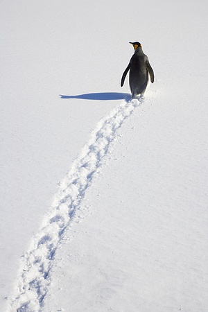 King Penguin (Aptenodytes patagonicus) walking through snow, Antarctic Bay, South Georgia Island