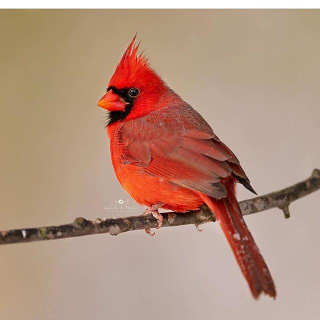 Best Bird Shots Sur Instagram Love Them Cardinals Congrats To Leeannephotography For Her Best Bird Shot Of Male Ca Bird Photography Cute Birds Pet Birds
