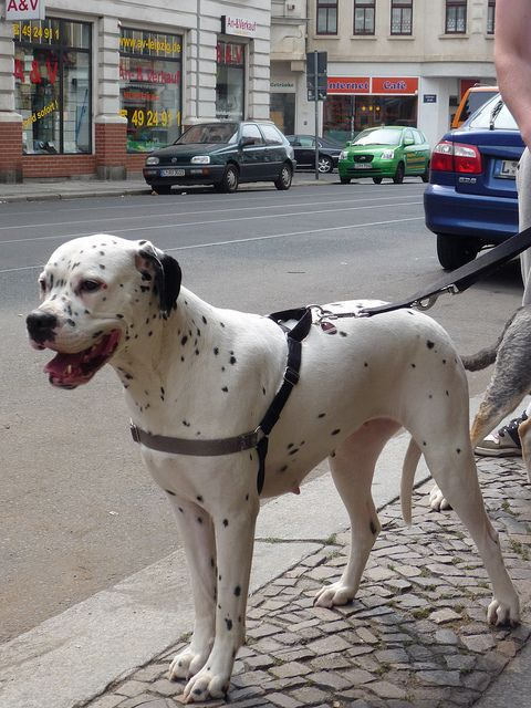 White Boxer X Dalmation Cross Breed by Mr Edd., via Flickr Awesome looking dog!