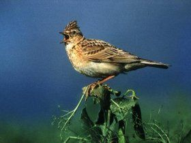 Vogelwelt leidet unter Monokultur