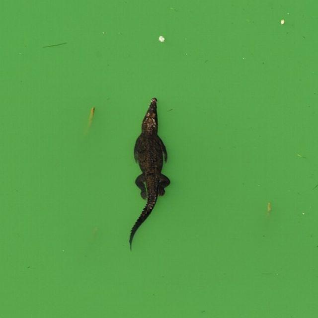 Un coccodrillo nuota nel lago Gatun, nei pressi del Canale di Panama