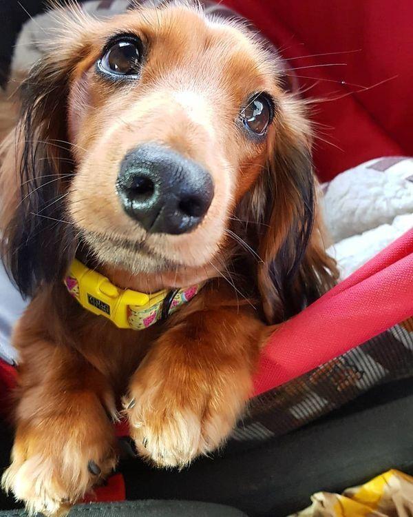 Dachshund Puppy Weenie Dogs Sausage Dog Dachshund Love