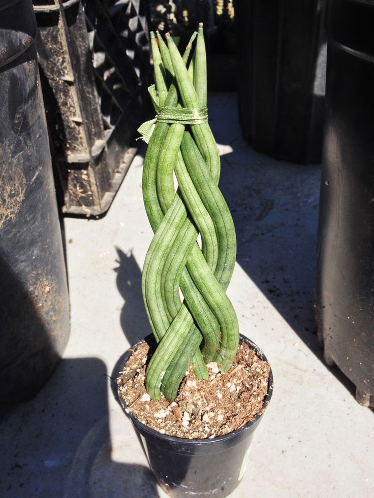 Unusual Huseplants Looking For Unusual Houseplants Try Sansevieria Cylindrica Grows In Any
