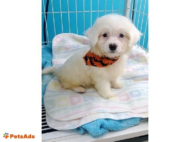 Registered Male Maltese Puppy I Have 1 Beautiful Male Registered Maltese Puppy Left He Is Potty Pad Trained He Is Sno Maltese Puppy Puppies Maltese
