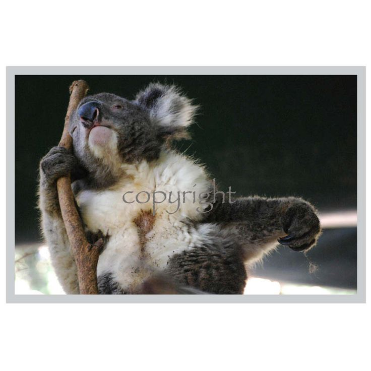 Bored Koala photo card. http://rocklilywombats.com/shop/