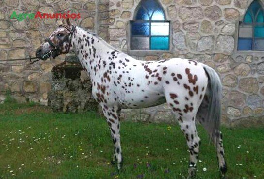 Se vende caballo de deporte español con carta 8 años con 1,58 de alzada, futuro semental. Nivel de doma san jorge. Concursando y ganando en la comunidad de madrid, segovia, ávila, castilla león. A parte de clasificar para los campeonatos de españa. - 26696
