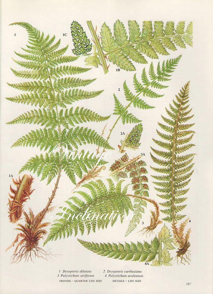 Vintage Antique FERNS illustration, botanical