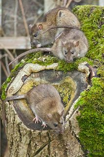 Trio of Brown Rats