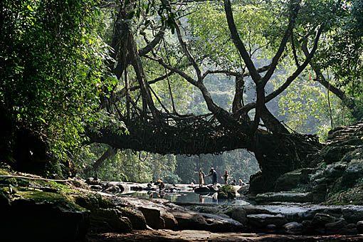 Living Root Bridges: Favorite Places, Natural Beautiful, Trees Roots, Roots Bridges, Trees Bridges, Figs Trees, Human Planets, Living Bridges, Living Roots