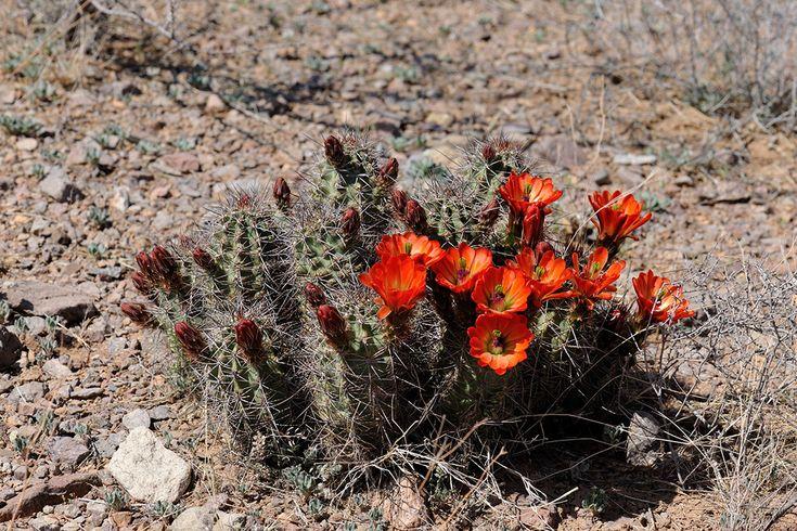 Echinocereus coccineus subsp. rosei, USA, New Mexico, Dona Ana Co.  More Pictures at: http://www.echinocereus.de