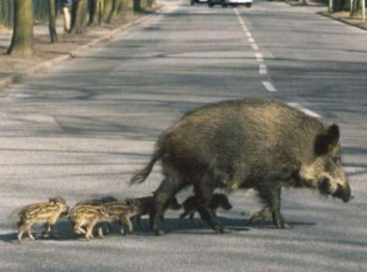 Calabria: #Cinghiali #sindaci #chiedono apertura anticipata della stagione della caccia (link: http://ift.tt/2anIO4I )