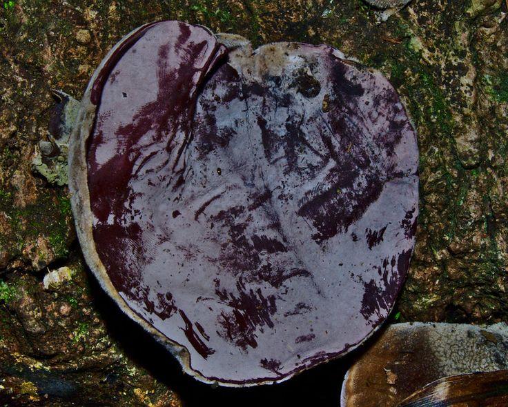 Auricularia cornea.  Mature / part 2 by Paco-Meijer.deviantart.com on @DeviantArt