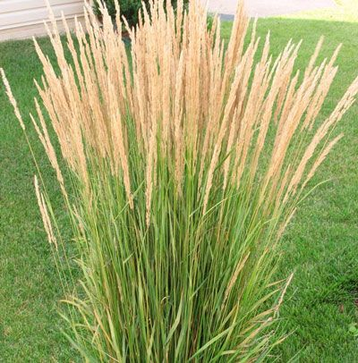 The karl foerster ornamental grass plant has upright for Ornamental grass with purple plumes